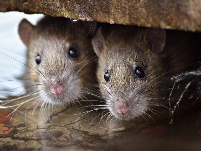 jasa pembasmi tikus di bandung